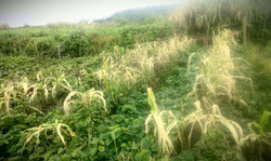 Acid rain wipes out the corn