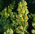 Yellow_toadflax_150.jpg