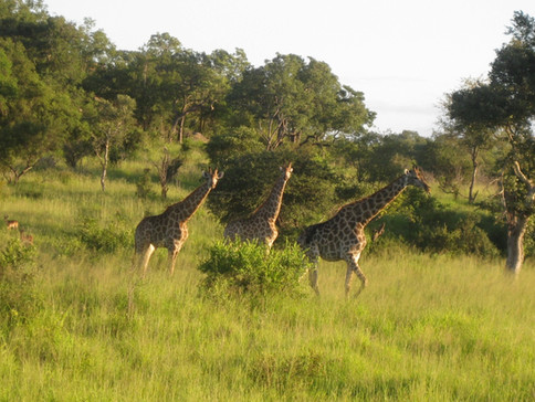 Post field work safari in Kruger National Park