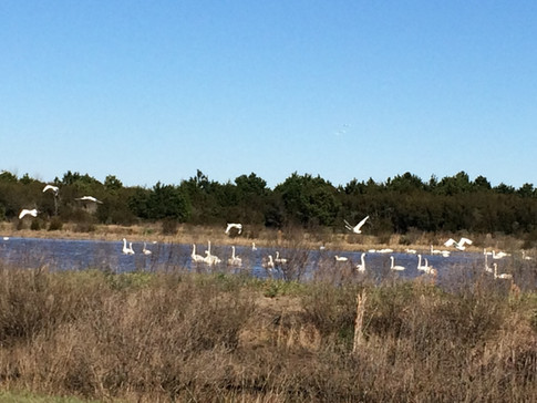 Tundra swans in Outer Banks of NC