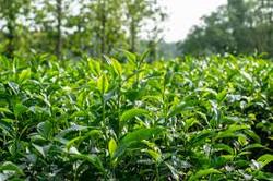 Tea_garden