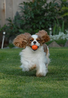 Cavalier Rodney and his ball
