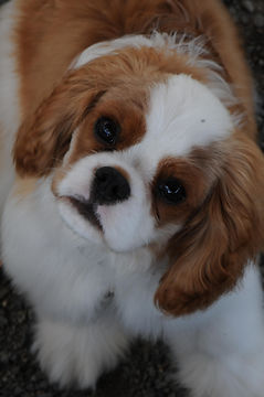 Rockcreek puppy