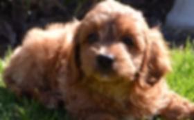 Cavoodle Puppy - Puppies Downunder