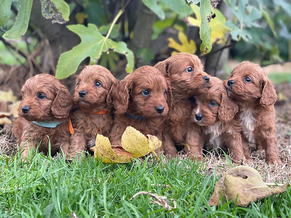 Cavoodle pups born 20 March 2021.jpeg