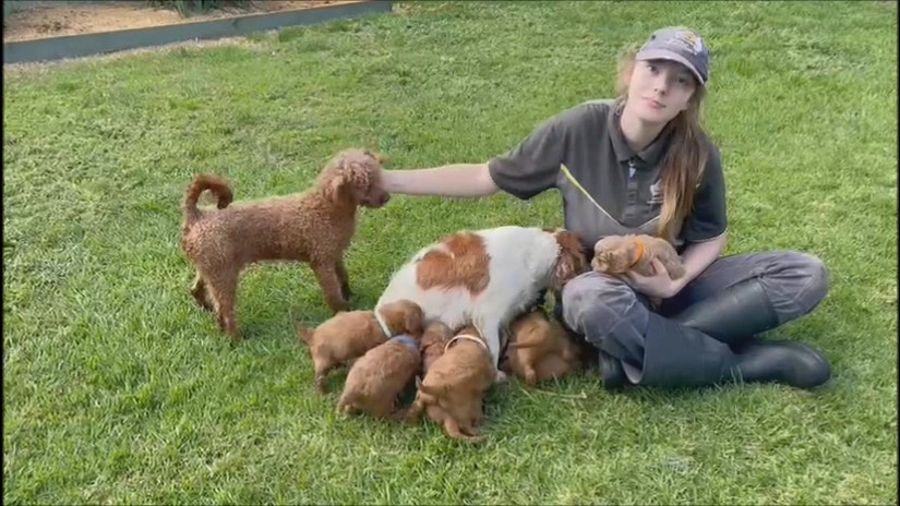 Cavoodle Puppies Born 16 March 2021