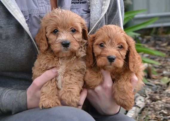 Cavoodle Puppies.png