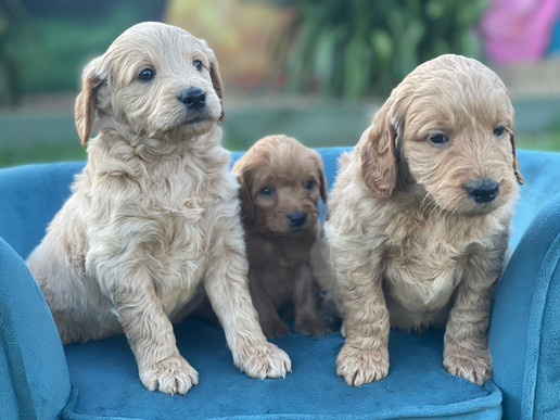 Group pics Aprils puppies.jpeg