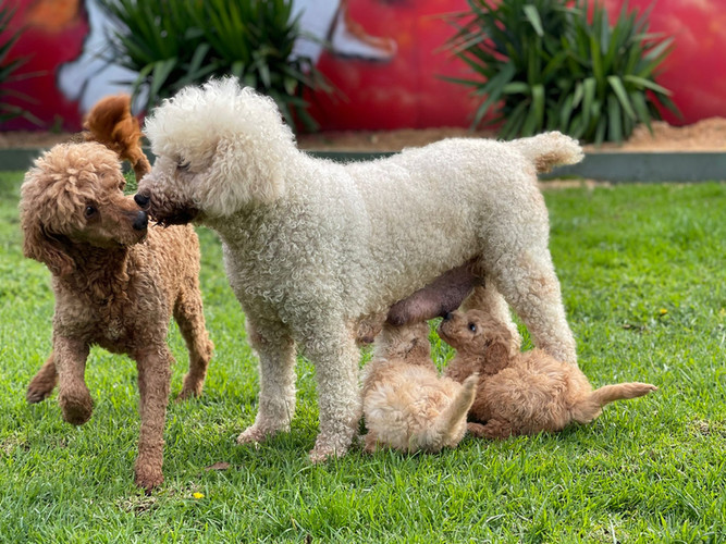 Pebbles and Simply Red with their puppies