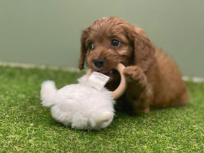 Male Cavoodle Puppy