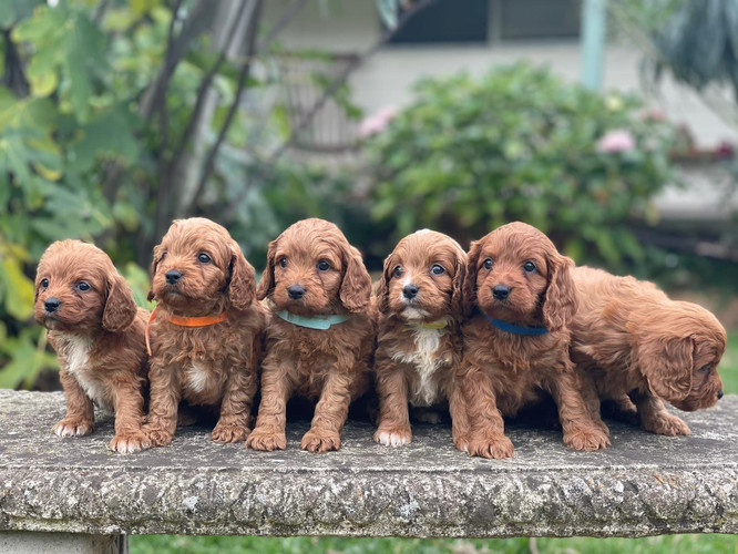 Cavoodle Puppies born 20 March 2021.jpeg