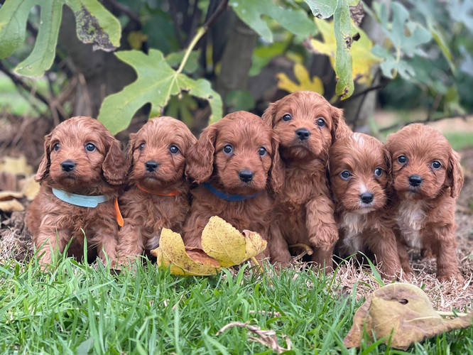 Cavoodle Puppies.jpeg