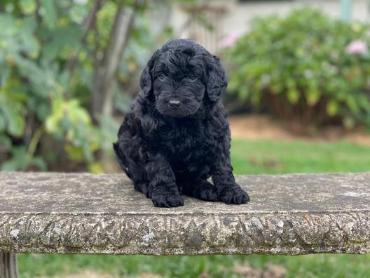 Male Bordoodle Puppy