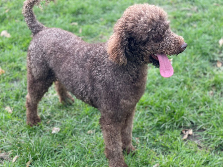 Sire - Joe - Mini Poodle