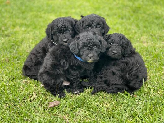 Bordoodle Puppies