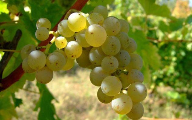 Orígenes del vino chileno