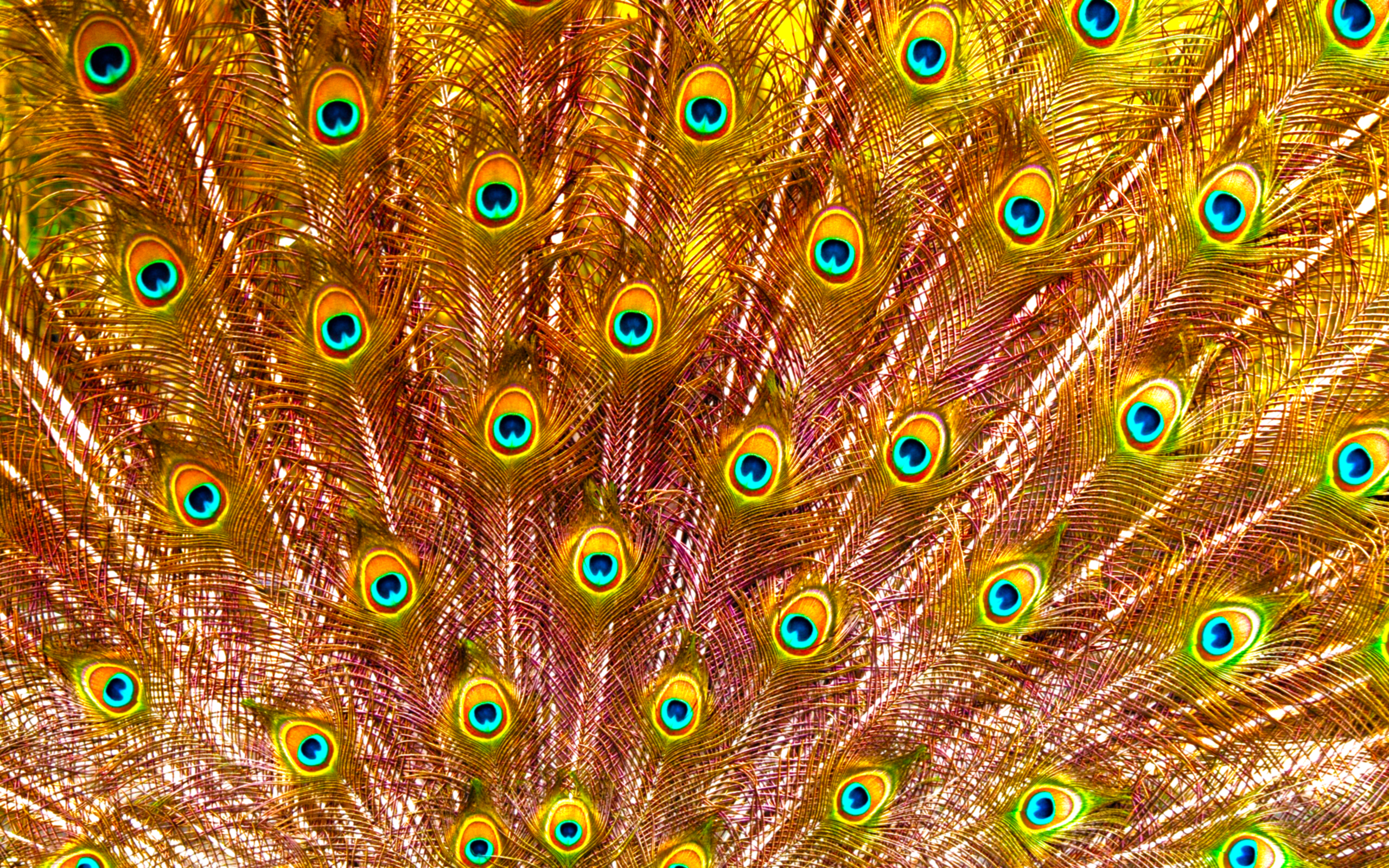 "Golden ""Pavo"" Feathers"
