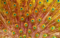 """Golden """"Pavo"""" Feathers"""