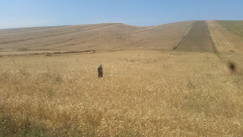 azerbaijan-wheat.jpg