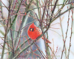 Surles-Cardinal_in_PussyWillow