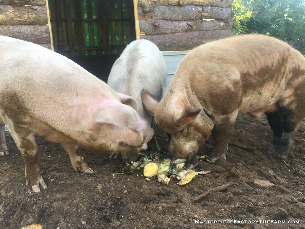 Pigs chomping on pineapples and other yummy table scraps.