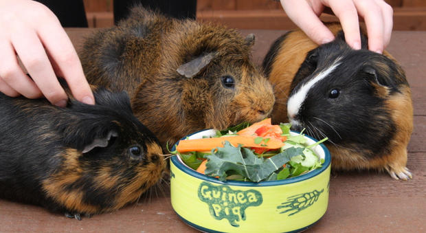 Guinea pigs out for a cuddle and a treat