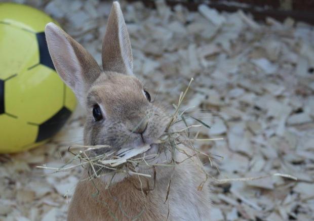 Crumble enjoying fresh organically produced meadow hay