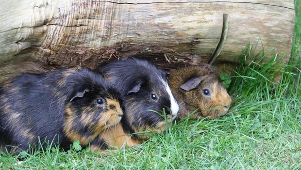 Guinea pigs enjoying time in the Piggie Park