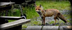 le renard du champ le monde