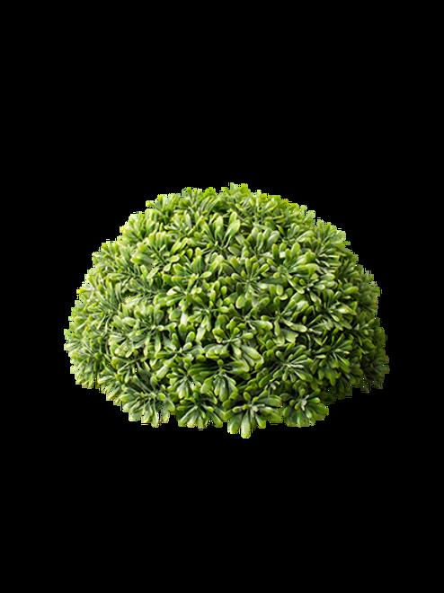 Buxinho  Aeonium Meia Bola