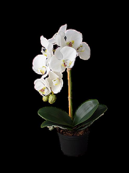 Orquidea Phalaen Em Pote G