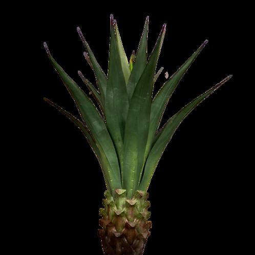 Agave Planta Permanente