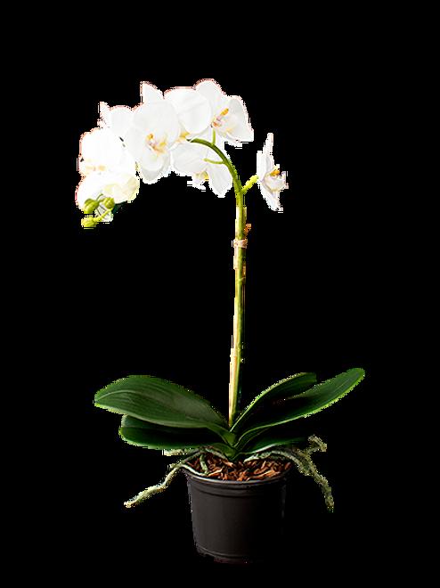 Orquídea Phalaen Em Pote M