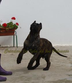 puppy dogo canario