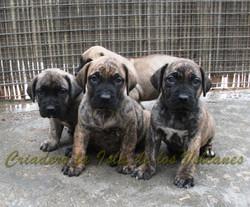 cachorros presas canarios en venta