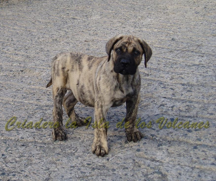 puppy de dogos canarios