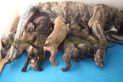 puppy presa canario