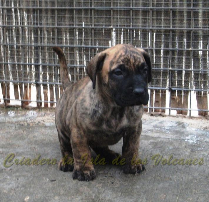 puppy de presas canarios