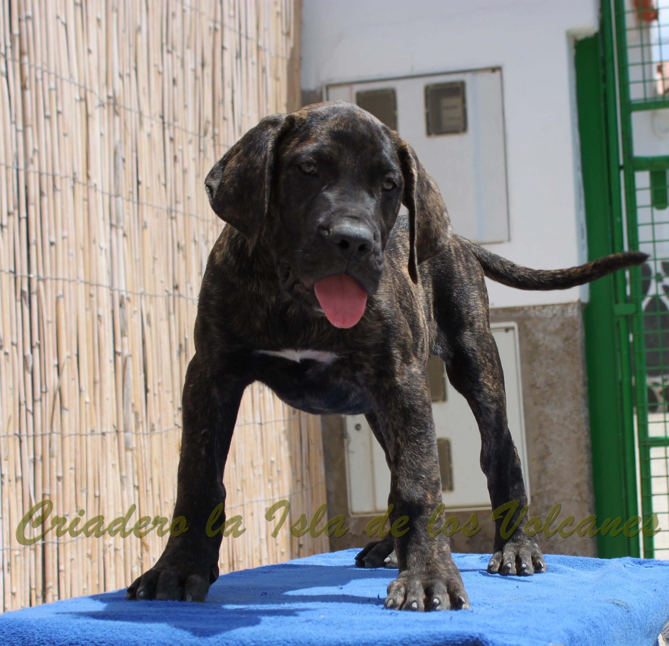 puppy presas canarios for sale