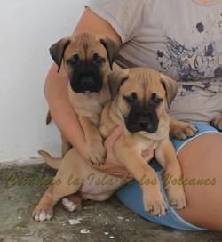 cachorros de presas canarios