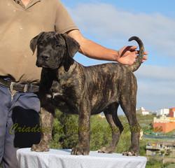 Criadero de Dogos Canarios