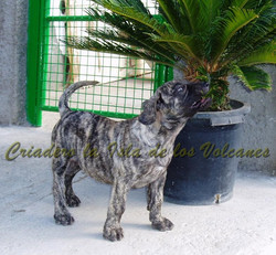 cachorros dogos canarios en venta