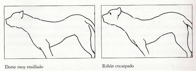 presa / dogo canario