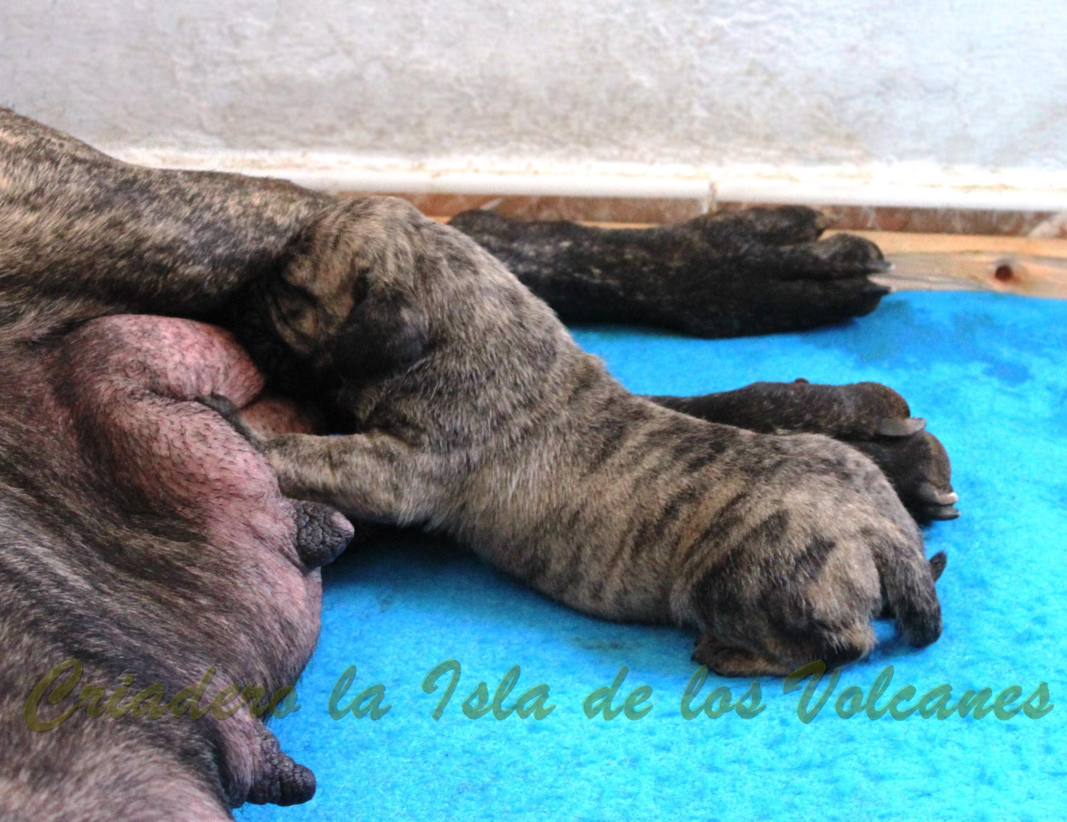 cachorros de dogos canarios