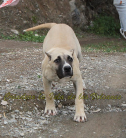 cachorro presa canario