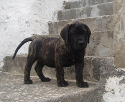 puppy dogos canarios for sale