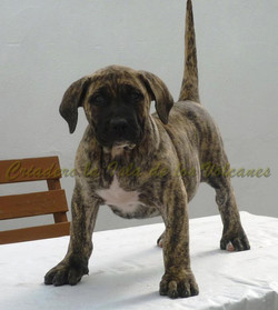 puppy presas canarios for sale