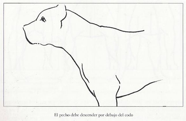 dogo / presa canario