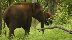 Elephant!! A National Heritage Animal: Why its Survival Matter?