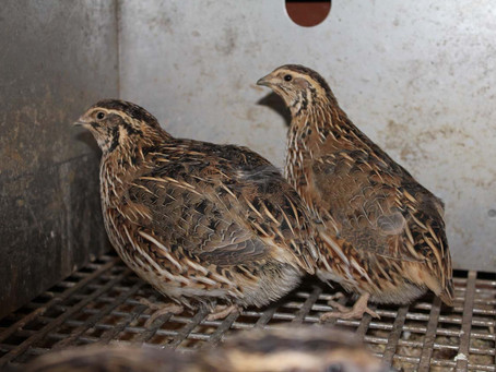 Japanese quail: Status, Production and Management